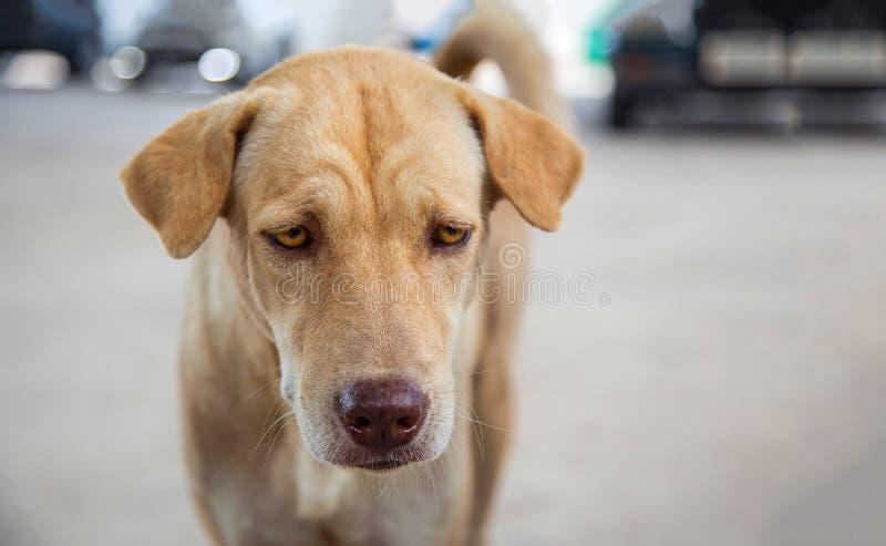 Śmieszna twarz przybłąkany pies lubi śpiący lub głodny obraz royalty free