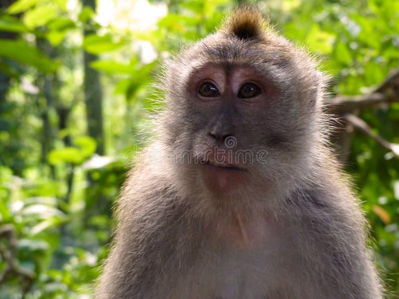 Śmieszna twarzy małpa obrazy royalty free