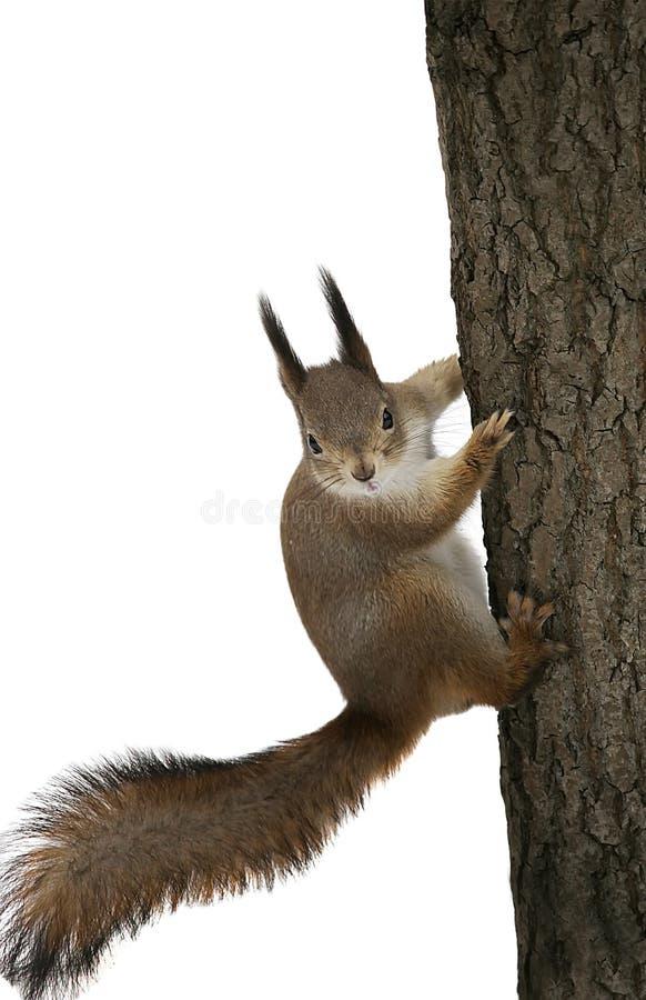 Śmieszna wiewiórka na drzewnym bagażniku na białym odosobnionym tle zdjęcia stock