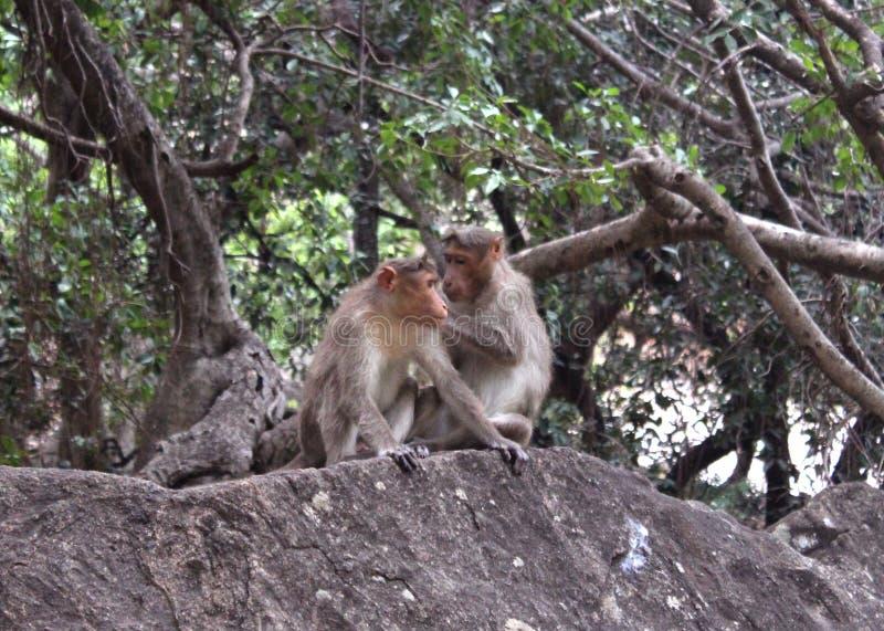 Śmieszne małpy na skale zdjęcie royalty free