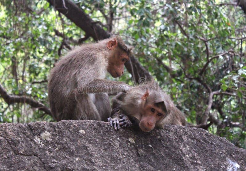 Śmieszne małpy z miłością na skale zdjęcie stock