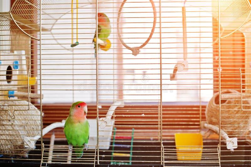 Śmiesznego lovebird papuzia na wolności klatka na rooom z światłem słonecznym zdjęcia stock