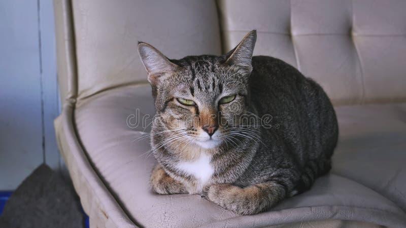 Śmiesznej twarzy kota Szary obsiadanie Na leżance fotografia stock