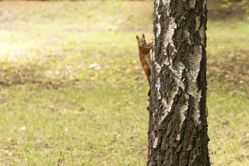 Śmieszni śliczni wiewiórek spojrzenia przy tobą od brzozy drzewa obraz royalty free