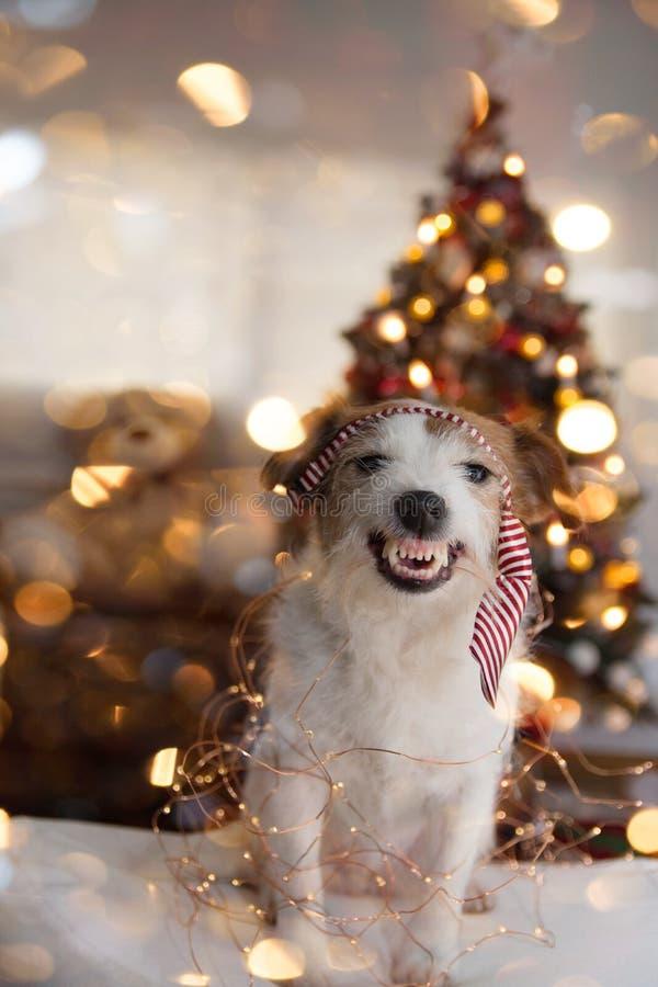 ŚMIESZNI boże narodzenia LUB nowego roku pies JACK RUSSELL szczeniak UŚMIECHA SIĘ SWÓJ zęby I POKAZUJE, JEST UBRANYM rewolucjonis zdjęcia stock