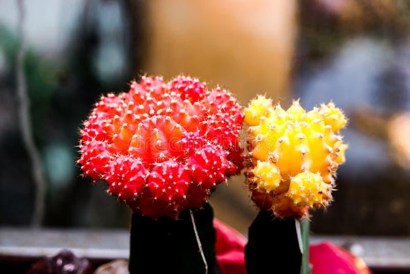Śmieszni czerwoni i żółci kaktusy w jeden Moskwa uprawiają ogródek zdjęcie royalty free