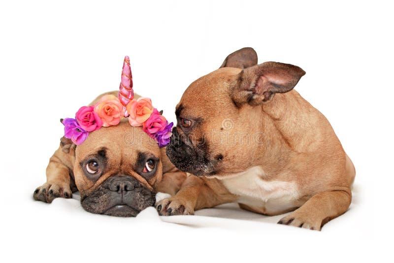 Śmieszni Francuskiego buldoga psy z jeden ubierali w górę kwiat jednorożec rogu i inny sprawdza headwear z zdjęcie stock