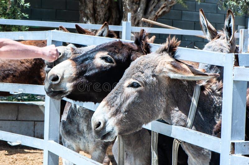 Śmieszni osły w piórze fotografia stock