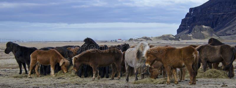 Śmieszni pluszowi Islandzcy konie na gospodarstwie rolnym w górach Iceland łasowanie przypalają żółtej trawy obraz royalty free