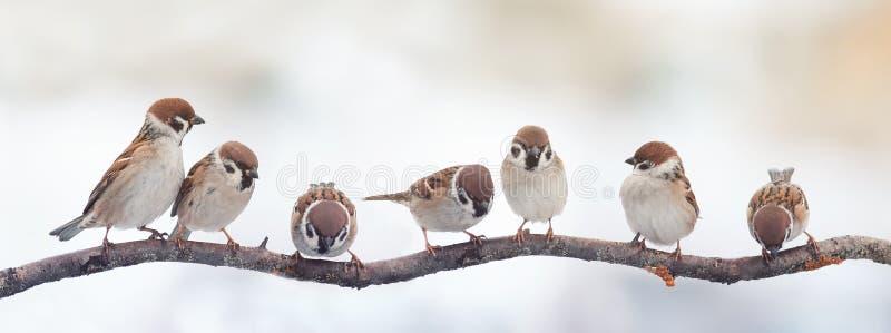 Śmieszni ptaków wróble siedzi na gałąź na panoramicznym obrazku zdjęcie stock