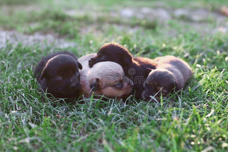 Śmieszni uśmiechnięci szczeniaki śpi outdoors na zielonej lato łące Mały śliczny psa tło z przestrzenią dla twój projekta lub tek obraz royalty free
