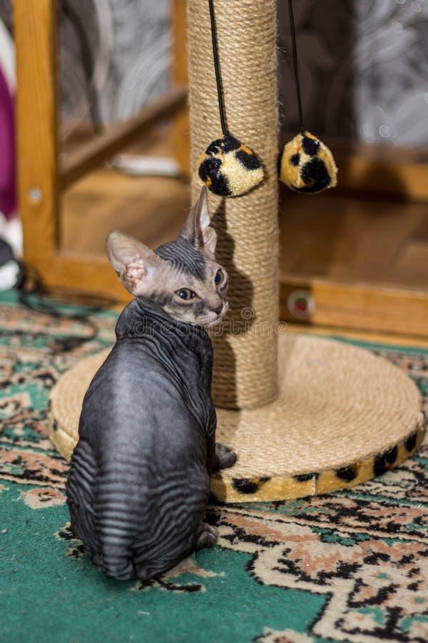 Śmieszny łysy kota sfinks właśnie siedzi zdjęcie royalty free