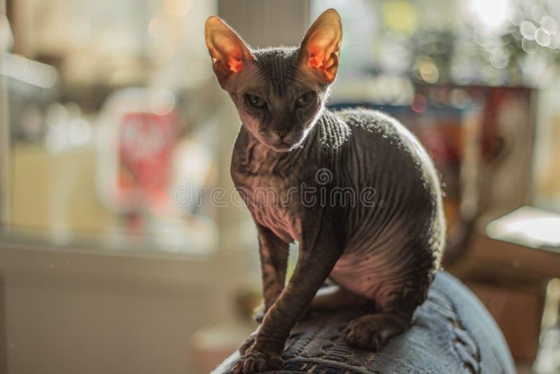 Śmieszny łysy kota sfinks właśnie siedzi obrazy royalty free