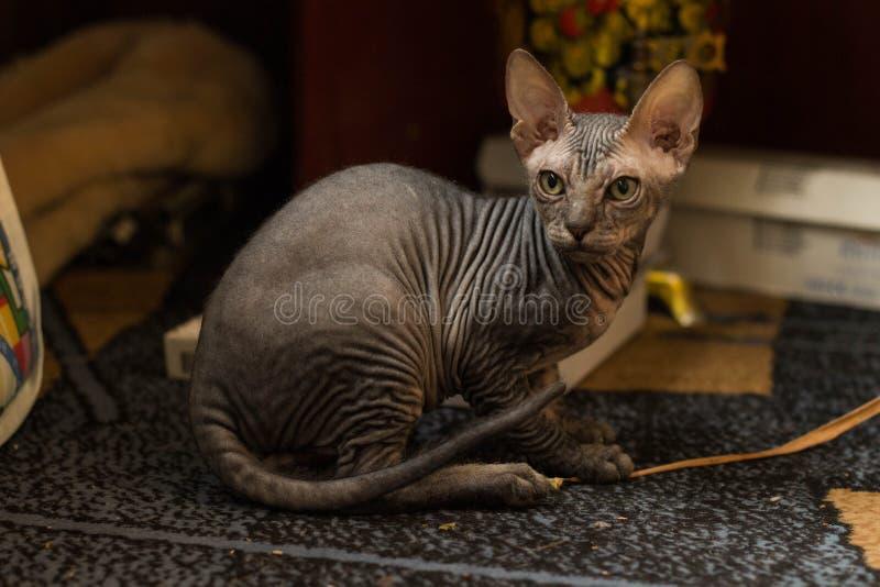 Śmieszny łysy kota sfinks właśnie siedzi zdjęcia royalty free