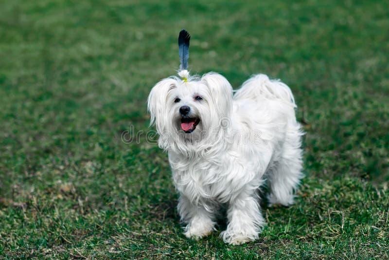 Śmieszny śliczny pies z piórkiem jak indianin zdjęcie stock