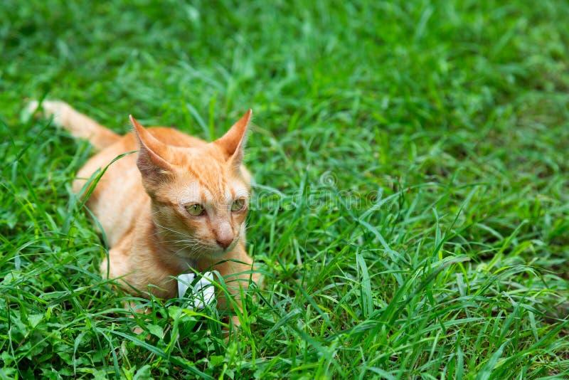 Śmieszny żółty kot na gazonie obrazy stock