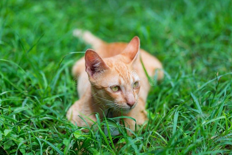 Śmieszny żółty kot na gazonie zdjęcie royalty free