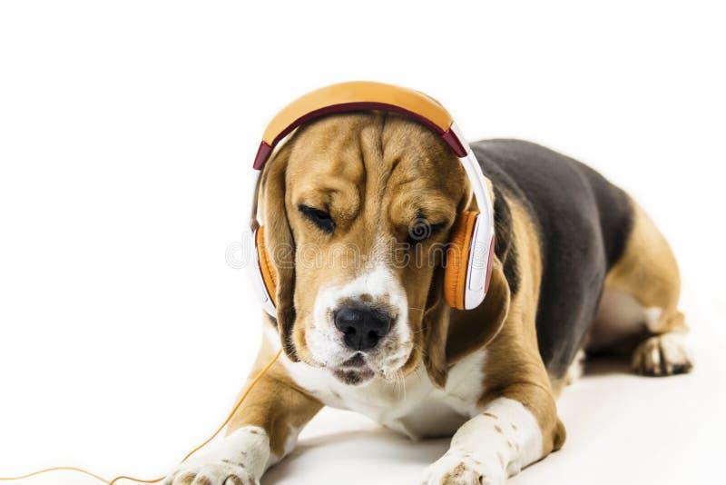 Śmieszny beagle pies z hełmofonami słucha muzyka obraz stock