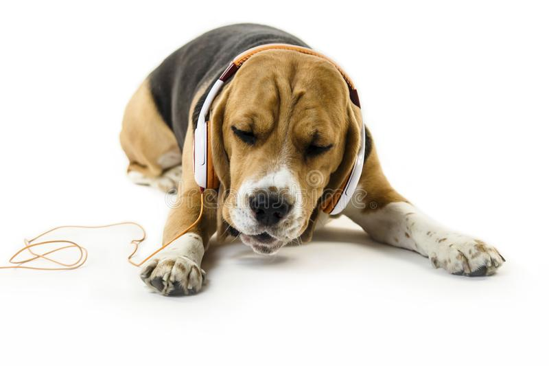 Śmieszny beagle pies z hełmofonami słucha muzyka fotografia royalty free