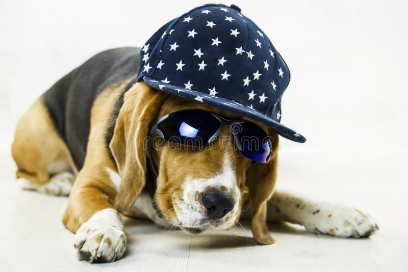 Śmieszny beagle pies z szkłami i nakrętką obrazy stock