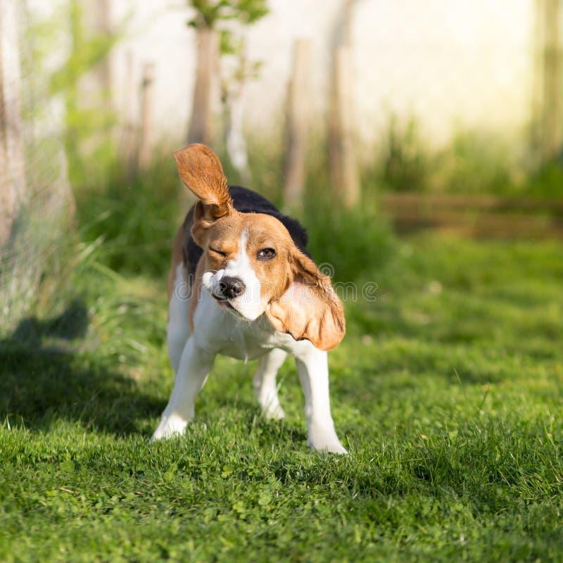 Śmieszny Beagle psa chwianie obrazy stock