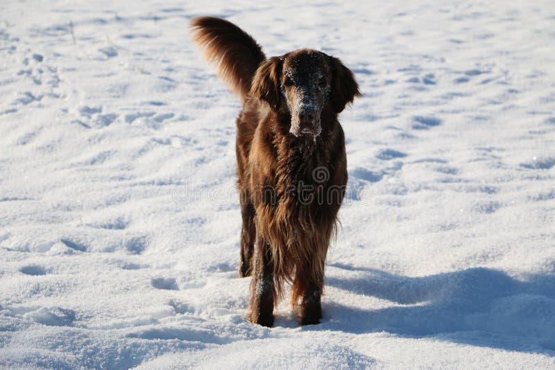 Śmieszny brązowy, płaski połyskujący śnieg stoi na śniegu. zdjęcie royalty free