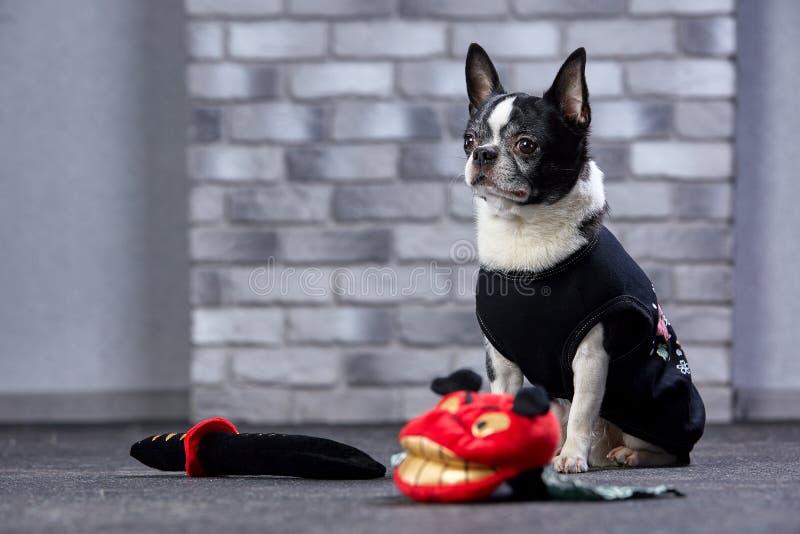 Śmieszny chihuahua w ninja kostiumu, studio strzał zdjęcia stock