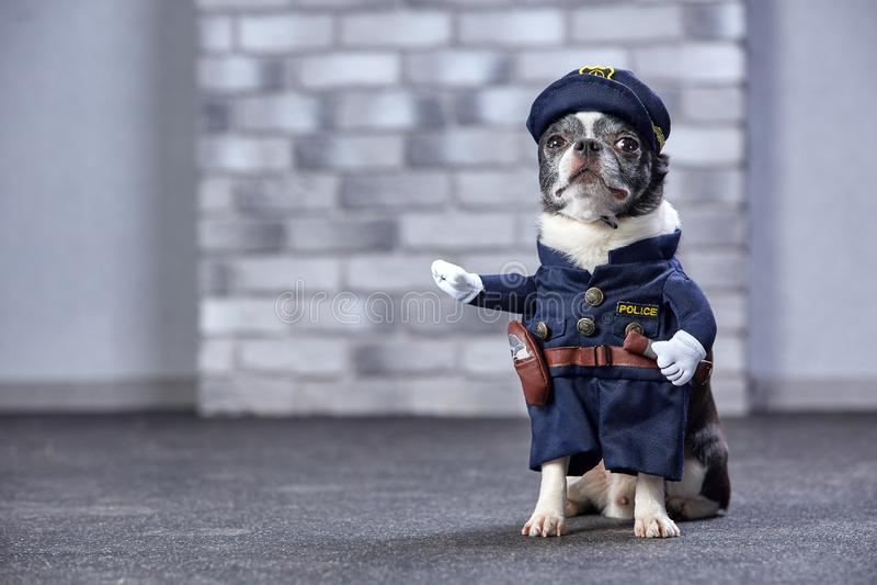 Śmieszny chihuahua w policjanta kostiumu piękny taniec para strzału kobiety pracowniani young zdjęcie stock