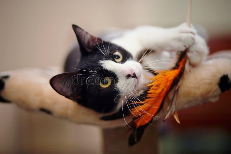 Śmieszny czarny i biały kota bawić się zdjęcie stock
