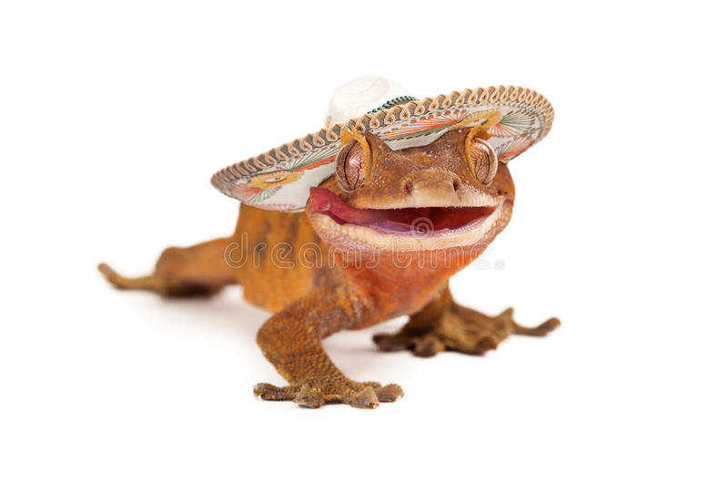 Śmieszny czubaty gekon jest ubranym sombrero zdjęcia stock