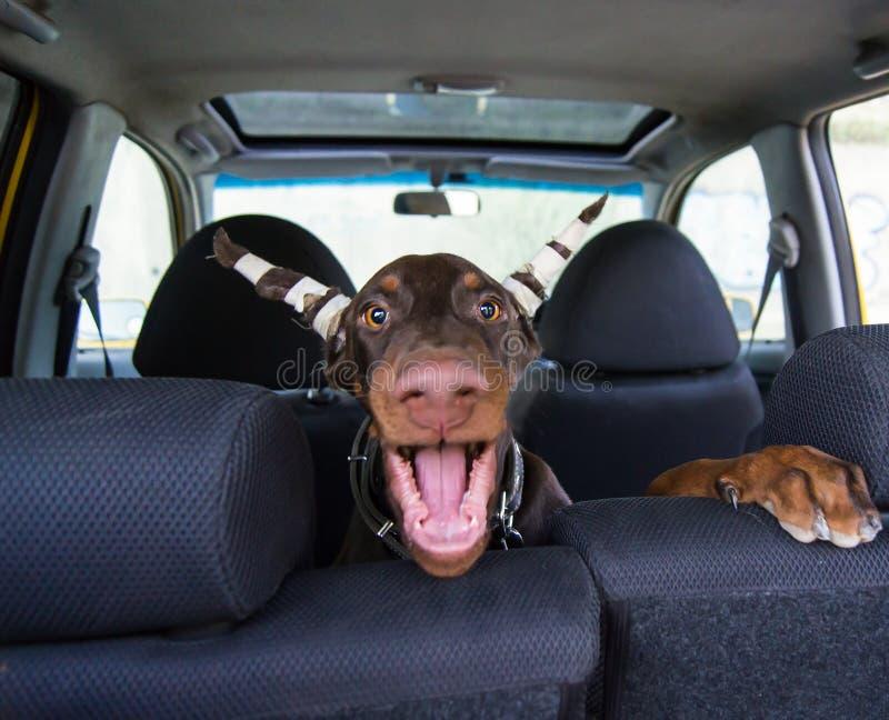 Śmieszny doberman szczeniaka obsiadanie w samochodzie i barkentynach zdjęcie royalty free