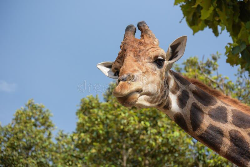 Śmieszny giraffee w Chiangmai nocy safari obraz stock
