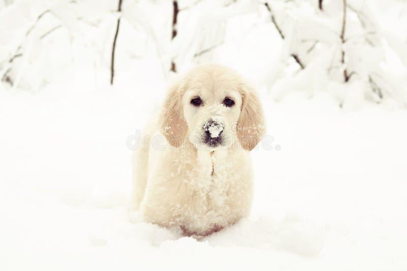Śmieszny golden retriever szczeniak z śniegiem na swój nosie zdjęcia royalty free