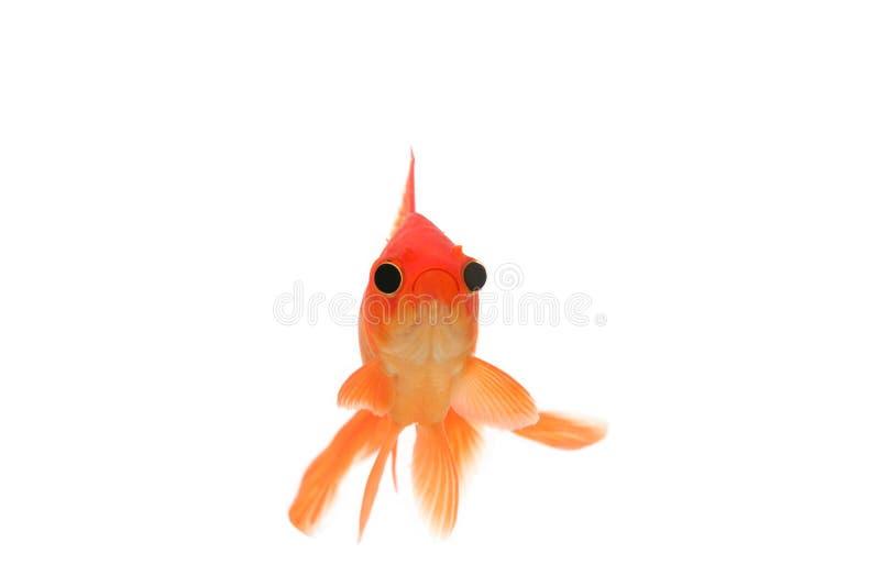 Śmieszny goldfish z dużymi oczami zdjęcia royalty free