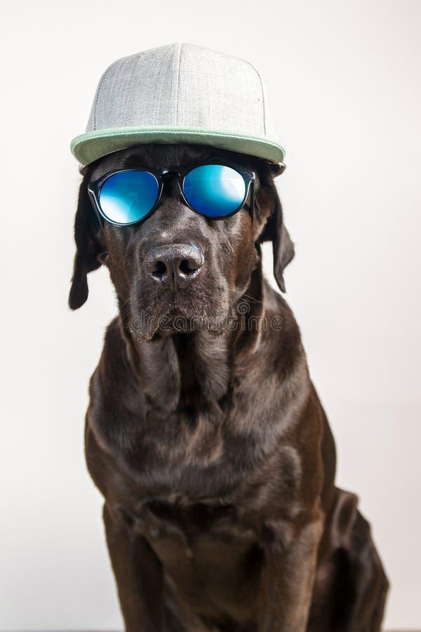 śmieszny i śliczny młody czarny labrador jest ubranym okulary przeciwsłonecznych i siwieje nakrętkę, patrzeje kamerę fotografia stock
