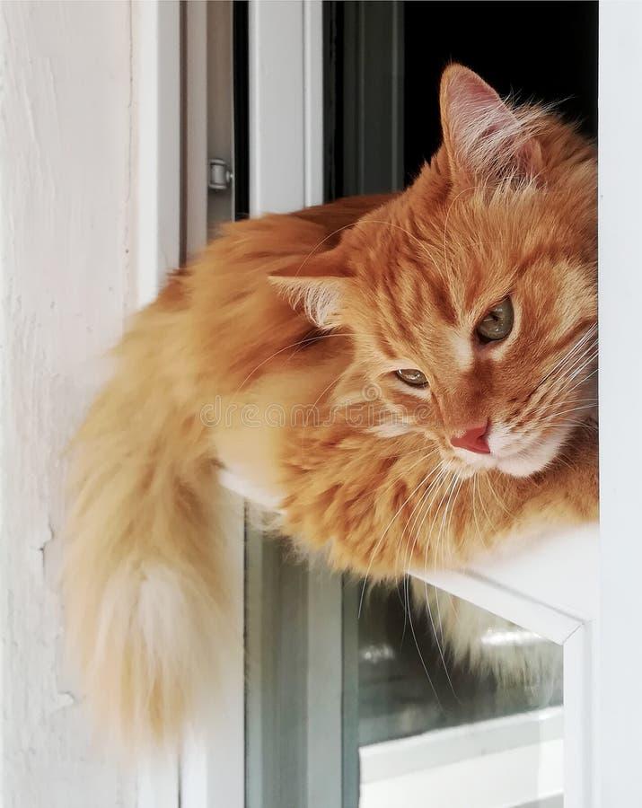 Śmieszny imbirowy kot dogodnie kłama w okno, w górę obraz stock