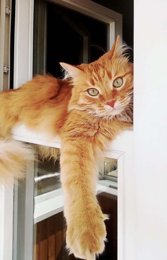 Śmieszny imbirowy kot dogodnie kłama w okno, w górę zdjęcie stock