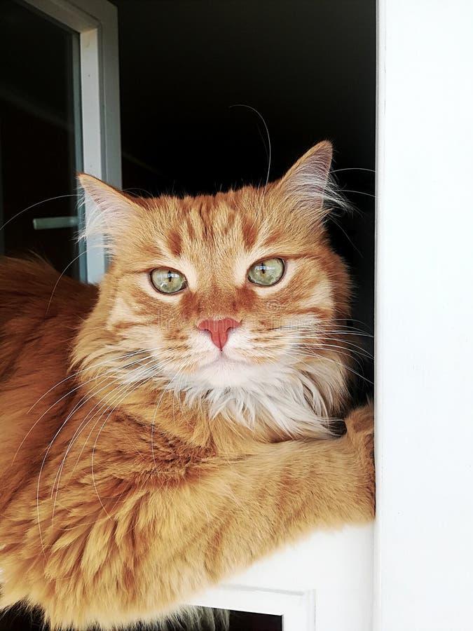 Śmieszny imbirowy kot dogodnie kłama w okno, w górę zdjęcia stock