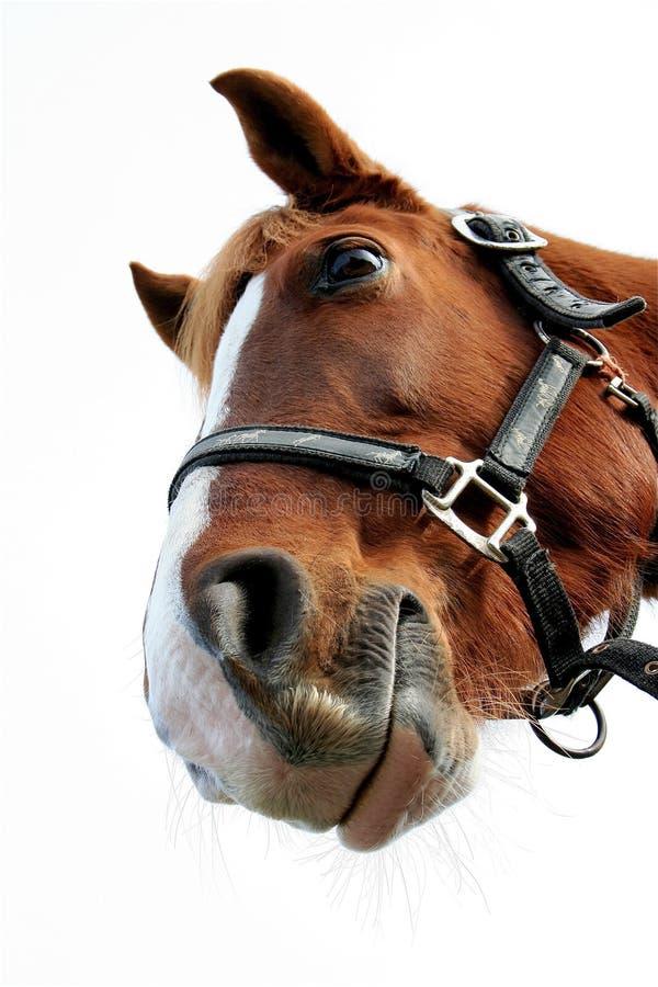 śmieszny koń obrazy royalty free