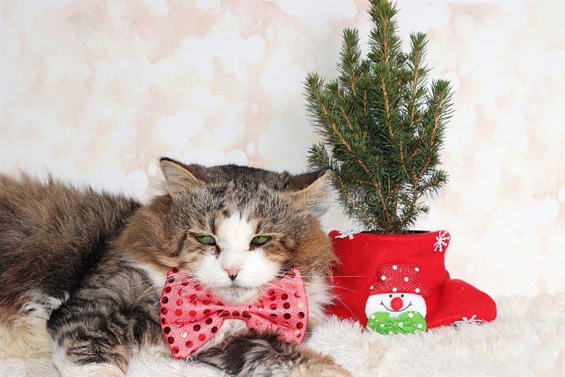 Śmieszny kot noworoczny w świątecznym ukłon i uszy na tle buka i żywego choinki w garnku, koncepcja lasu obraz stock