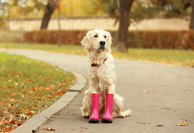 Śmieszny Labrador Retriever jest ubranym gumowych buty obrazy royalty free