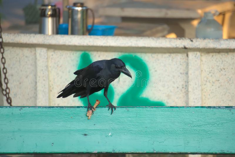 Śmieszny mimo to zakłócać miejsce ludożercza czerni wrona patrzeje w dół, podczas gdy jedzący pieczonego kurczaka na parkowej ław obraz royalty free