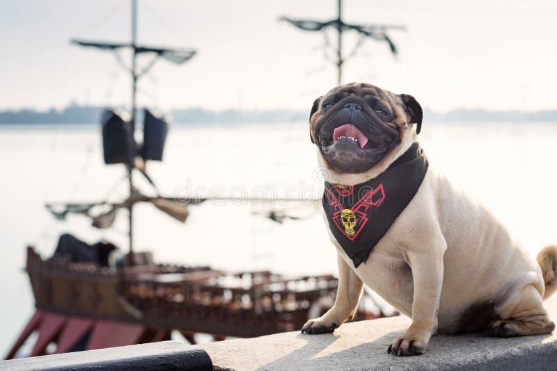 Śmieszny mopsa pies w pirata szaliku siedzi na tle pirata statek fotografia royalty free