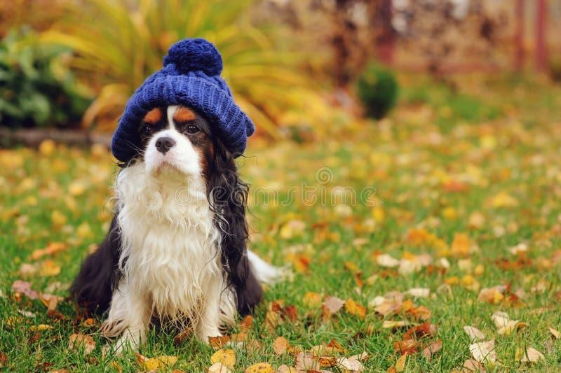 śmieszny nonszalancki królewiątka Charles spaniela psa obsiadanie w trykotowym kapeluszu na spacerze fotografia stock