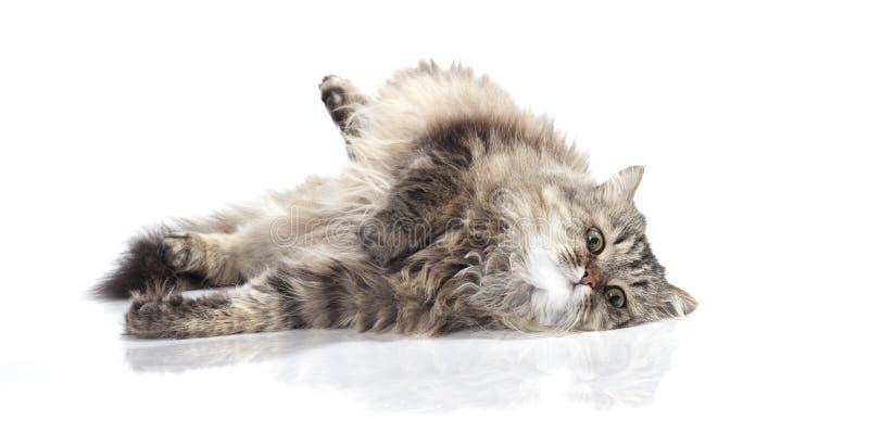 śmieszny piękny kot fotografia royalty free