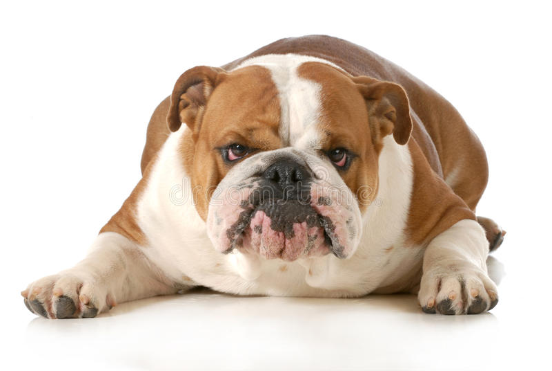 Śmieszny pies obraz royalty free