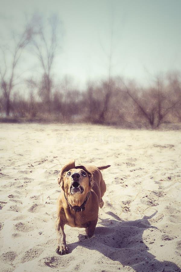Śmieszny pies biega wzdłuż plaży jak potężny drapieżnik obraz stock