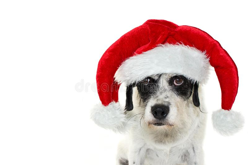 ŚMIESZNY pies JEST UBRANYM elfa ŚWIĘTY MIKOŁAJ odświętności KAPELUSZOWYCH boże narodzenia LO zdjęcia royalty free