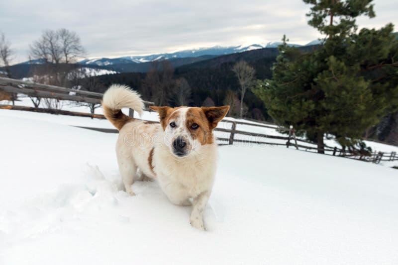 Śmieszny potomstwo pies w zimy górze zdjęcie stock