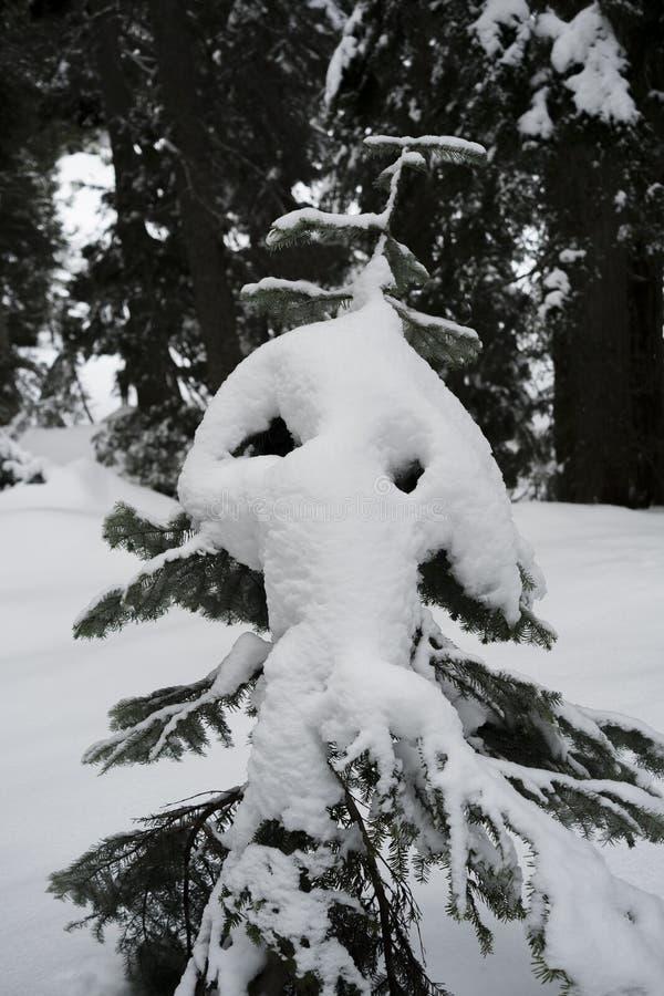 Śmieszny przyglądający drzewo obok góry Seymour snowshoe wlec obraz royalty free